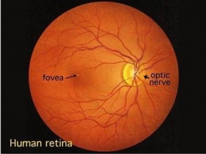 The picture above is a normal human retina.